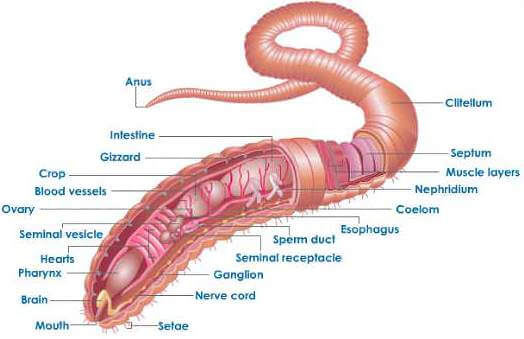 Excretion system of Earthworm