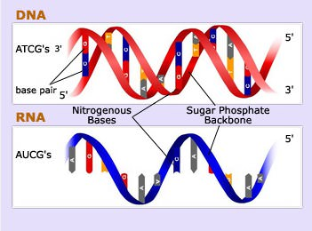 Strucutre of RNA and DNA