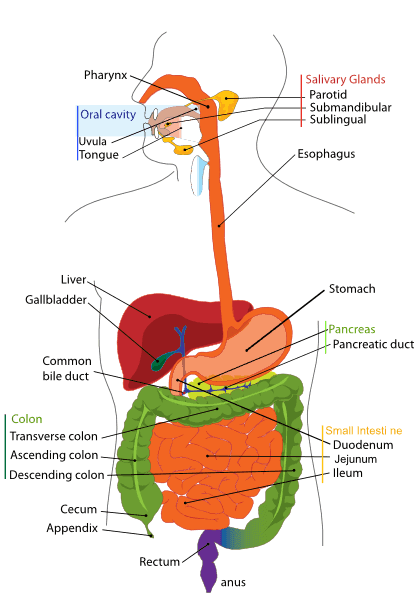 Digestion process of a Human
