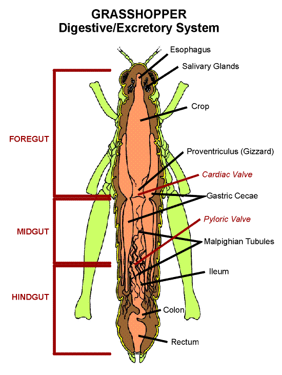 Diagram Of Grasshopper Crop - Wiring Diagram Services •