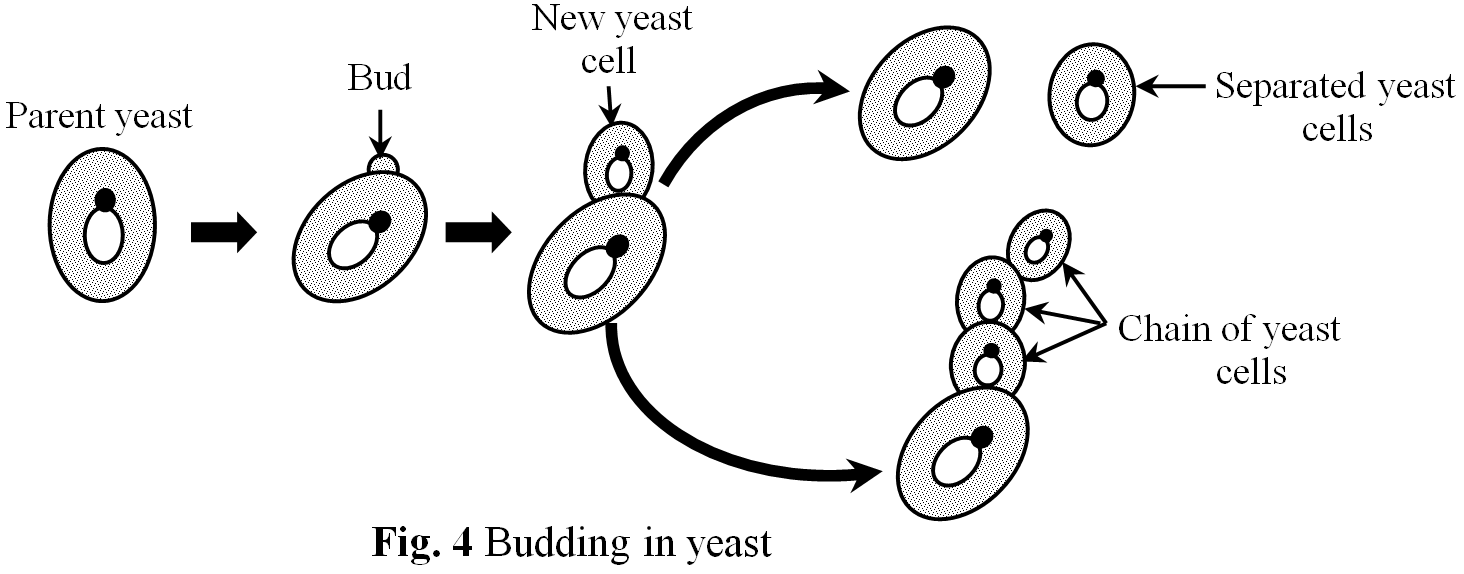Does yeast reproduce asexually by budding definition