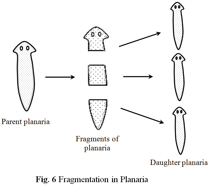 Fragmentation asexual reproduction definition and example
