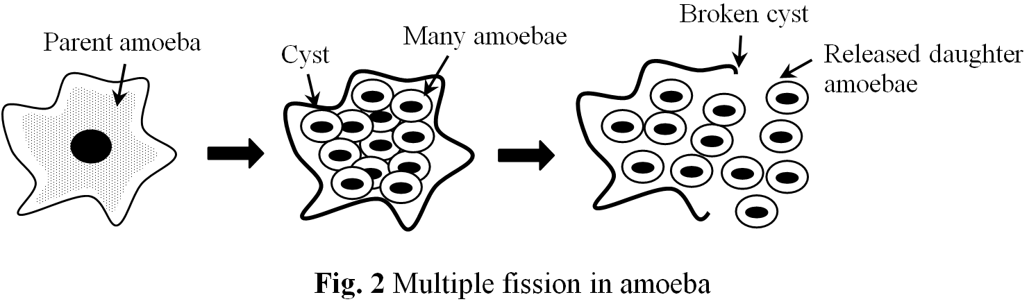 Describe asexual reproduction in amoeba