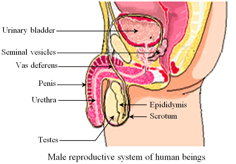male reproductive system Of Human Beings