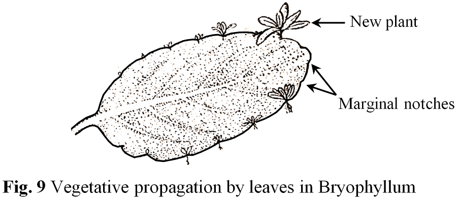 Vegetative Propagation By Leaves In Bryophyllum