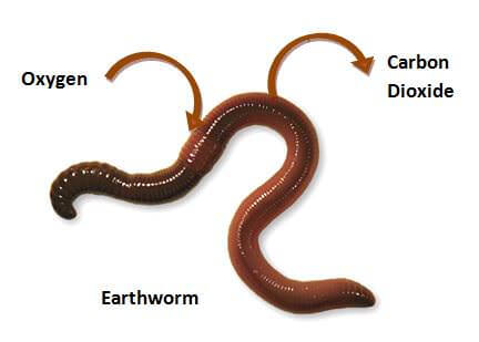 Respiration in Earthworms